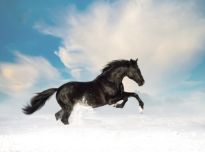 Black horse run in the snow